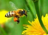 """تدريب النحل في هولندا للكشف عن فيروس """"كورونا"""""""